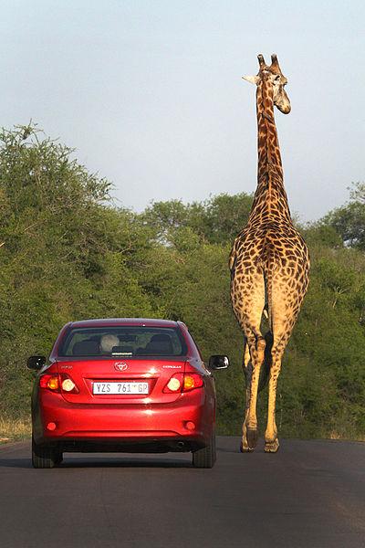 giraffe walks next to a car in Kruger Park