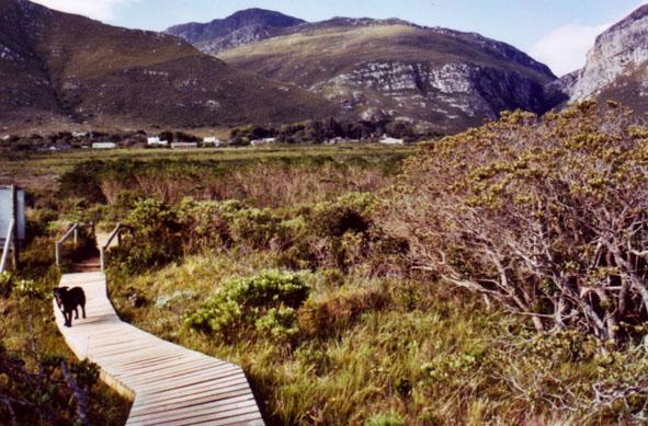 fynbos in Betty's Bay