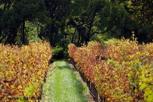 paarl vineyard