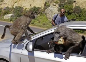 APTOPIX South Africa Baboons   ASVZ101