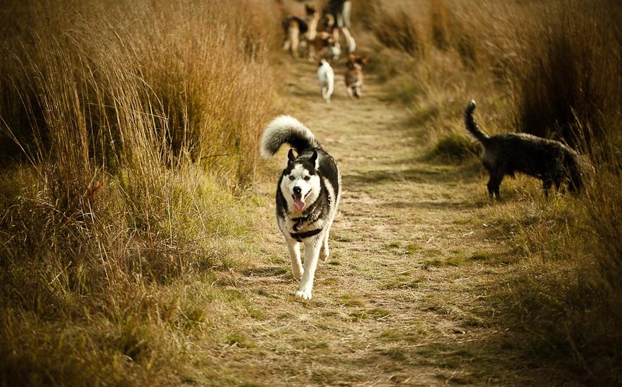 Huskies-at-Walkhaven-002