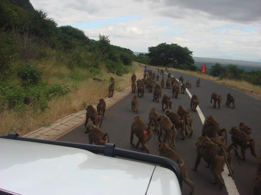 babboons crossing