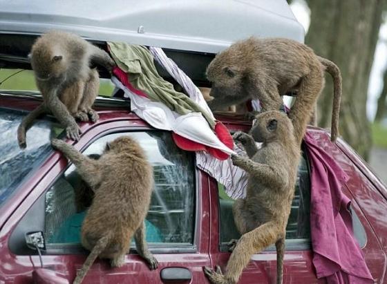 baboons-safari