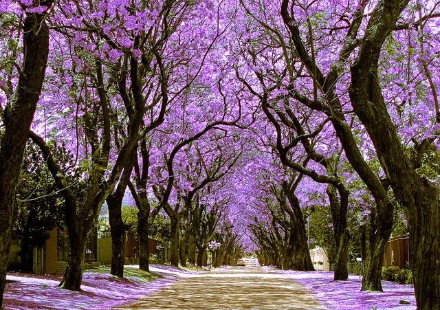 Pretoria-the-City-of-Jacaranda