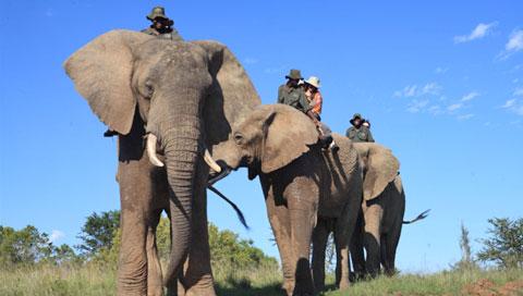 addo-elephant-park-elephant-480